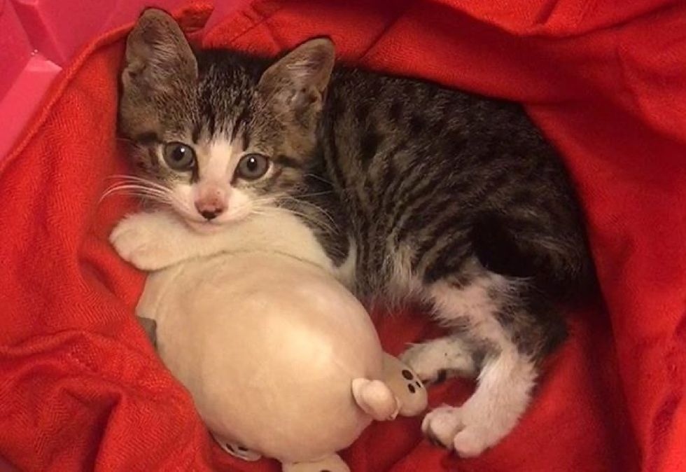 cute, kitten, tabby, cuddle