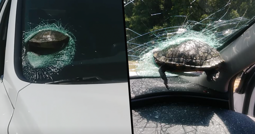 Woman Almost Decapitated After 'Flying' Turtle Smashes Into Windscreen