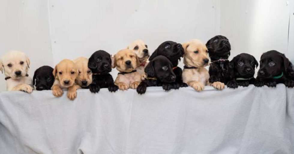Labrador Gives Birth to 14 Puppies in Biggest Ever Litter in History of the Breed