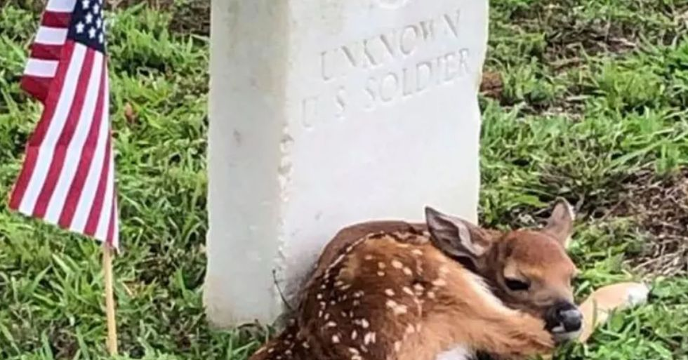 Fawn Spotted Curled up Next to Headstone of Unknown U.S. Soldier