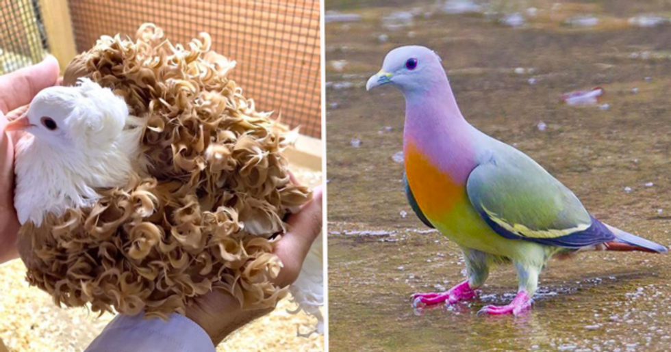 These Are the World's Most Beautiful Types of Pigeons