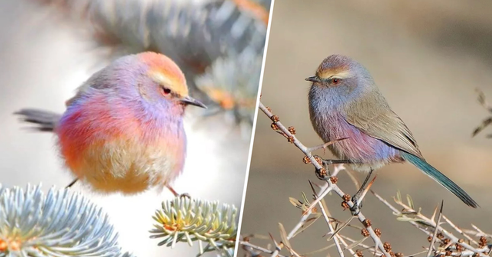 The White-Browed Tit-Warbler Is an Adorable Rainbow Bird With a Silly Name