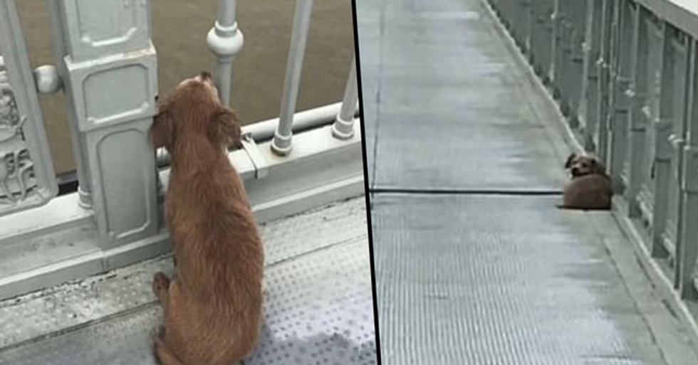 Loyal Dog Waits on Bridge After 'Owner Jumps Into a River'