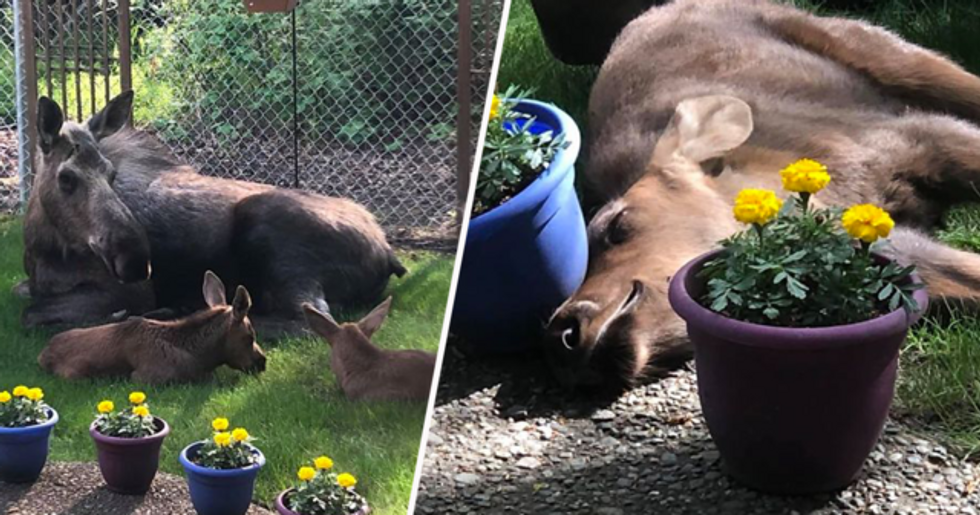 Moose and Calves Spend a Day in Family's Backyard and Man Documents How It Went