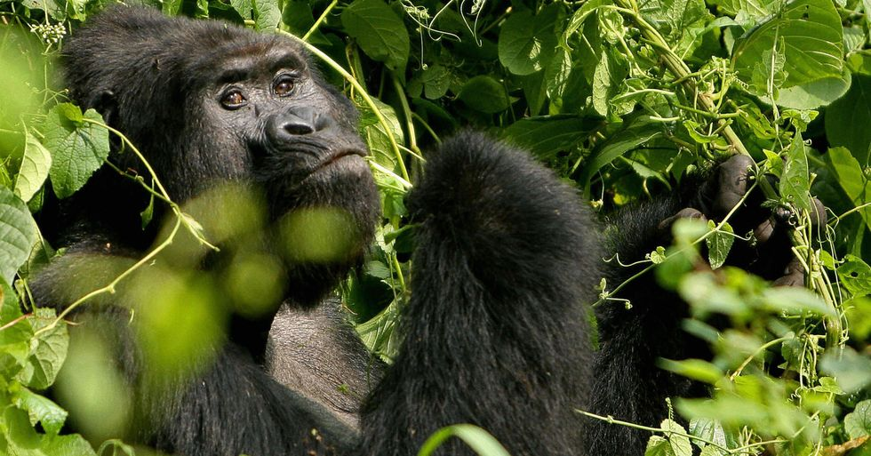 World Famous Gorilla Named Rafiki Speared to Death by Hunters