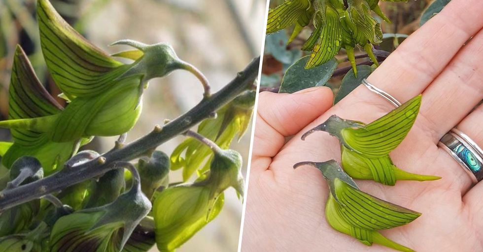 Australian Flowers With Petals Look Like Perfect Little Hummingbirds