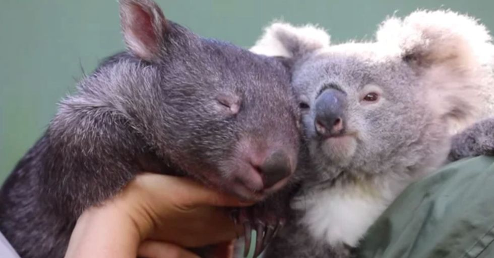 Wombat and Koala Become Inseparable After Sharing an Enclosure During Lockdown