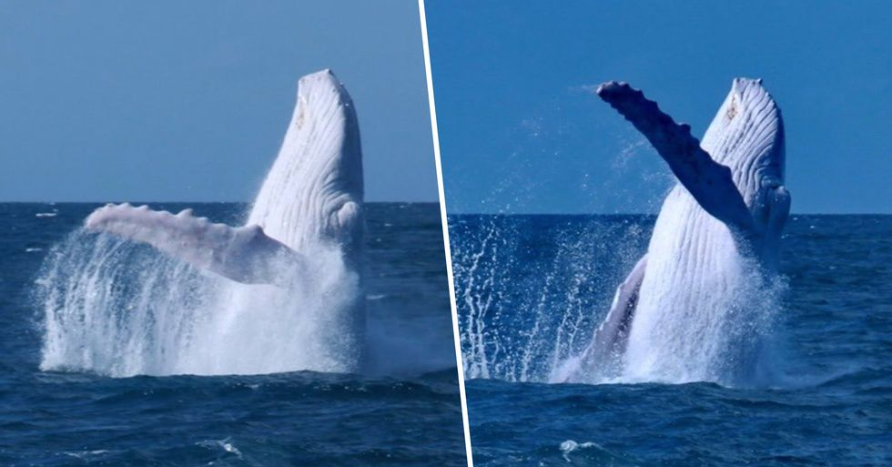 Rare White Humpback Whale Spotted off the Coast of Australia