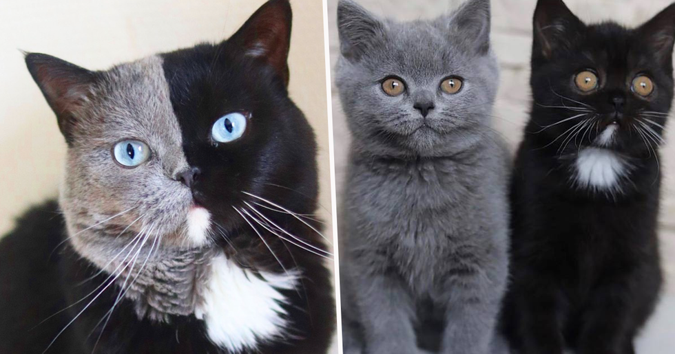 Cat With Two-Tone Face Fathers Kittens in Each of his Colors
