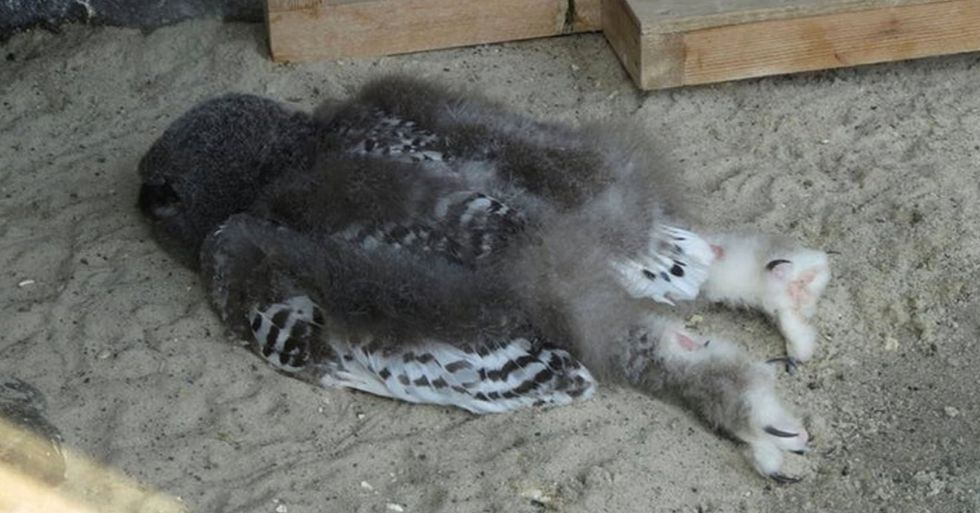 People Are Just Learning That Baby Owls Sleep Face Down as Their Heads Are Too Heavy