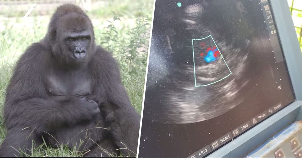 Critically Endangered Gorilla Is Expecting Her First Baby