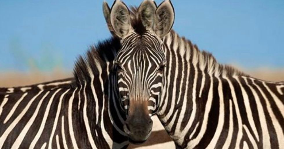 People Can't Agree Which of These 2 Zebras Is Looking at the Camera