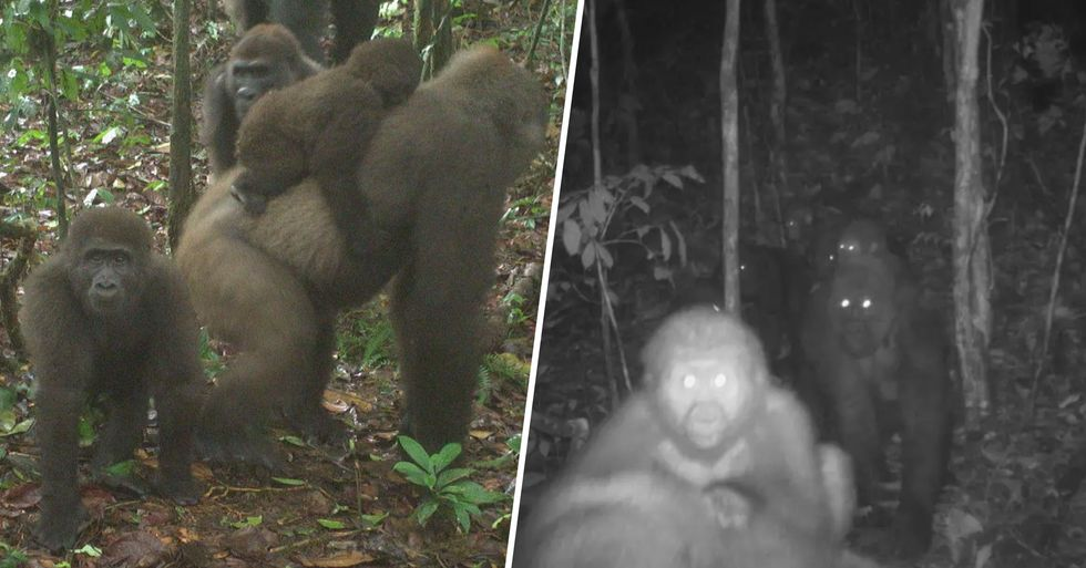 World's Most Endangered Gorilla Subspecies Photographed for the First Time in Years With Babies