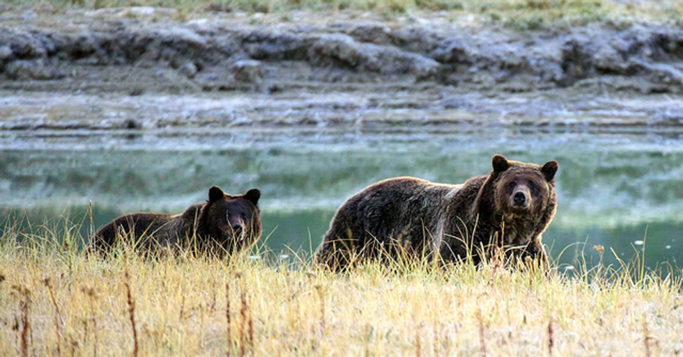 Yellowstone Grizzly Bears Safe From Trophy Hunters After New Court Ruling