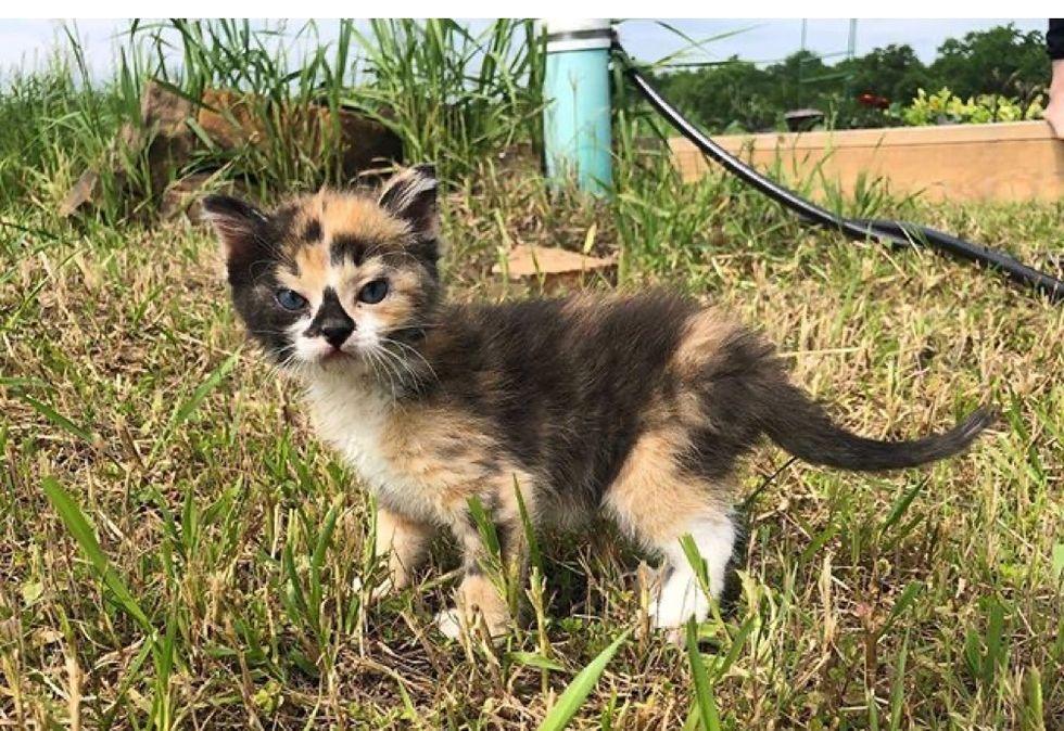 calico, kitten, adventurous
