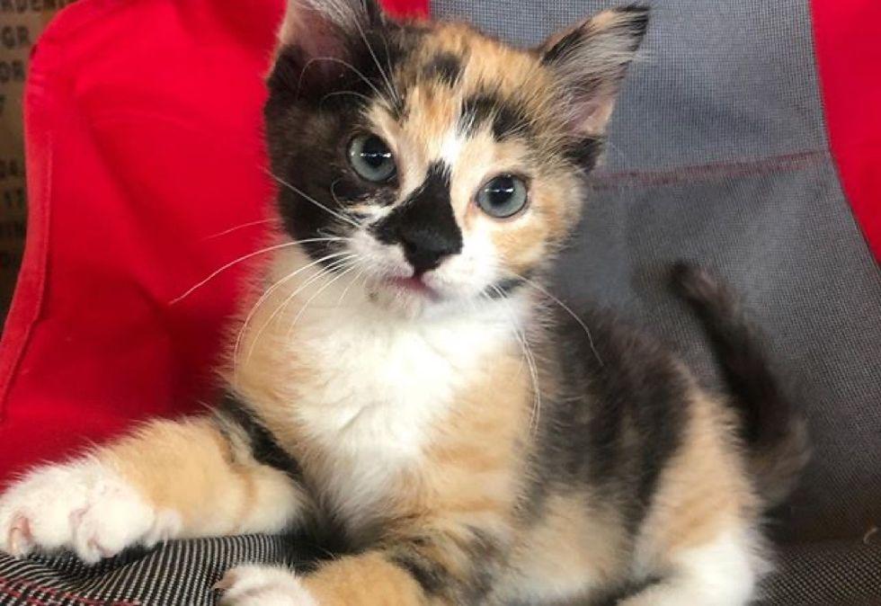 cute, calico, kitten