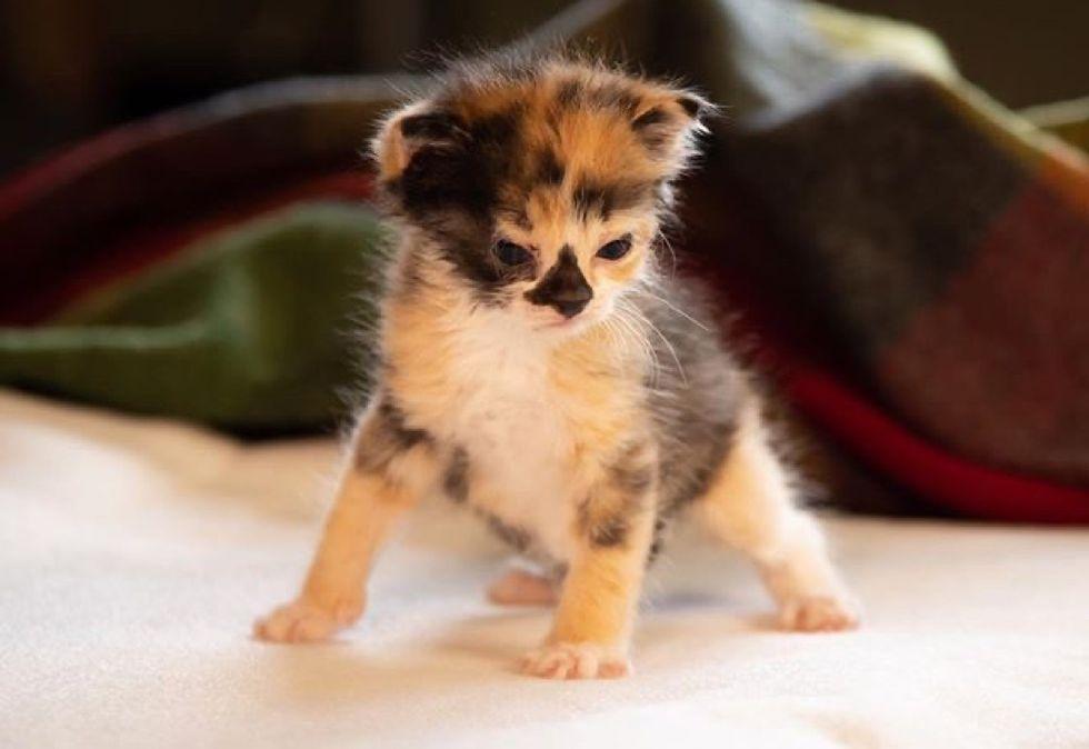 calico, kitten, tiny