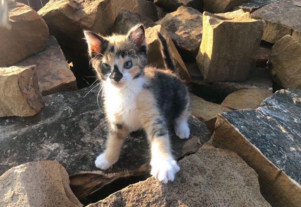 calico, kitten, adventurous cat