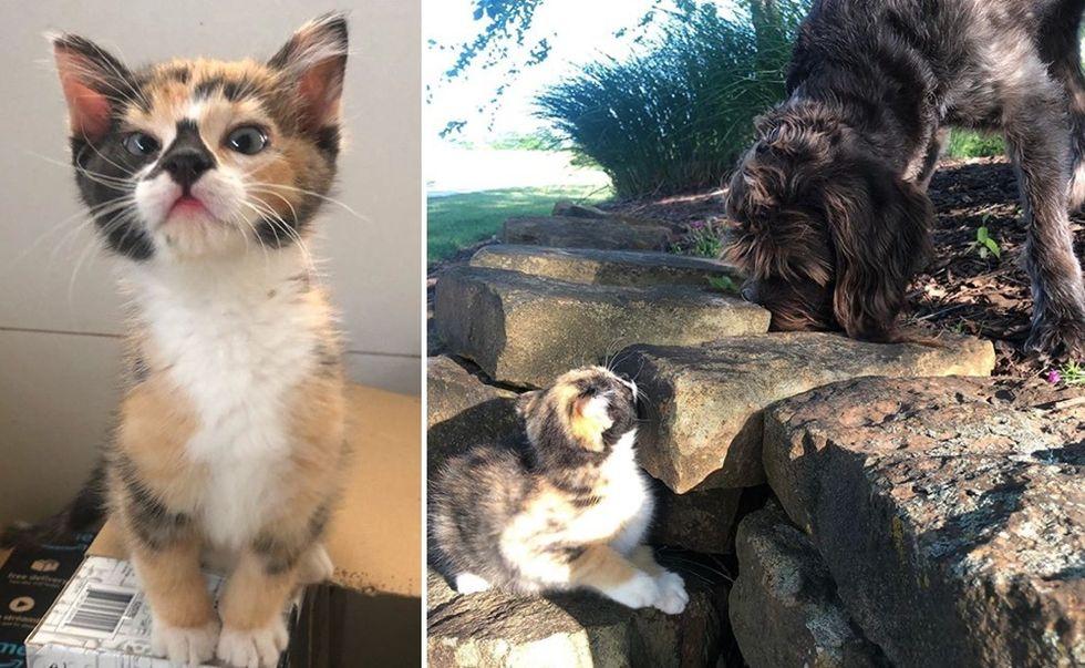 calico, kitten, adventurous, dog
