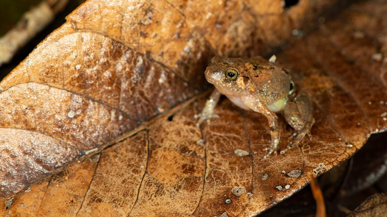 New Species of Diamond Frog Discovered in Remote Pocket of Madagascar