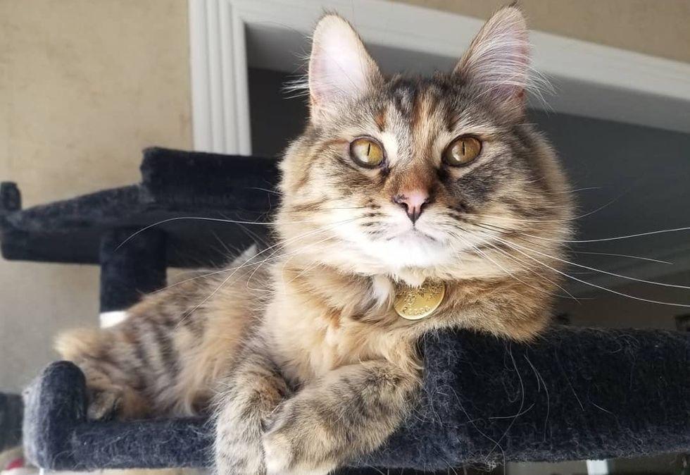 torbie cat, tabby