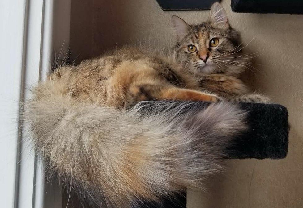 fluffy tail, torbie cat