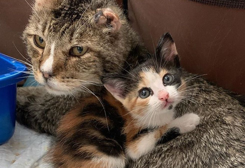 cat, kitten, cuddles, calico