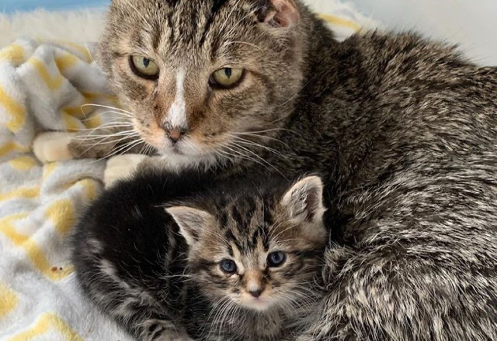 cat, kitten, cuddles, tabby
