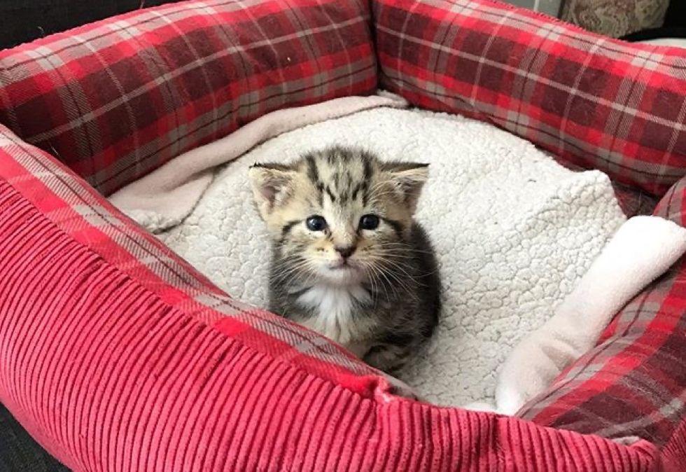 tiny, tabby kitten, cat bed