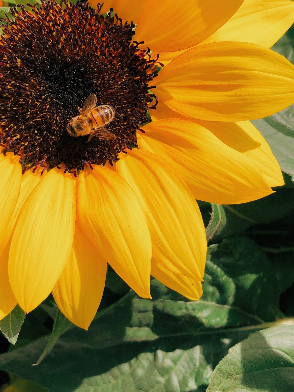 honey bee perched on yellow sunflower in closeup photography