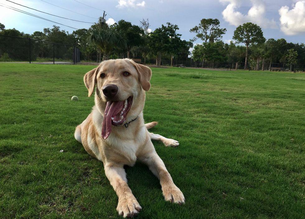 My Labrador Retriever at the local dog park