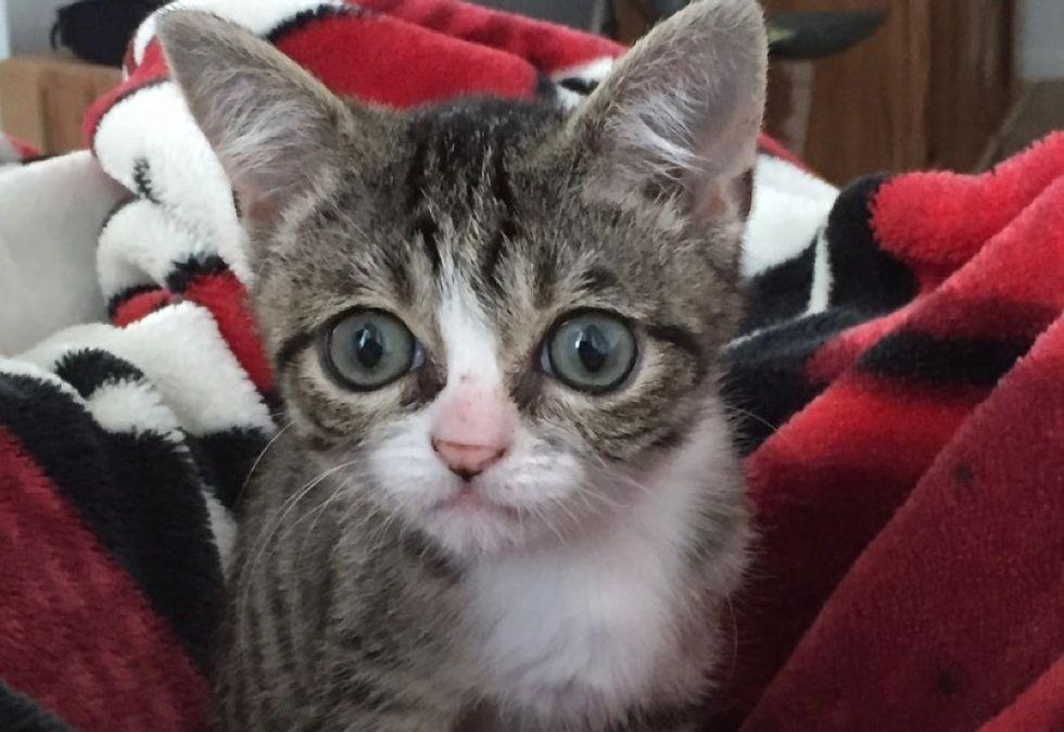 big eyes, tabby kitten