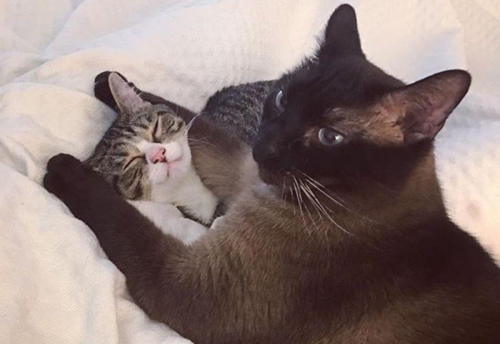 siamese cat, cuddle, tabby kitten