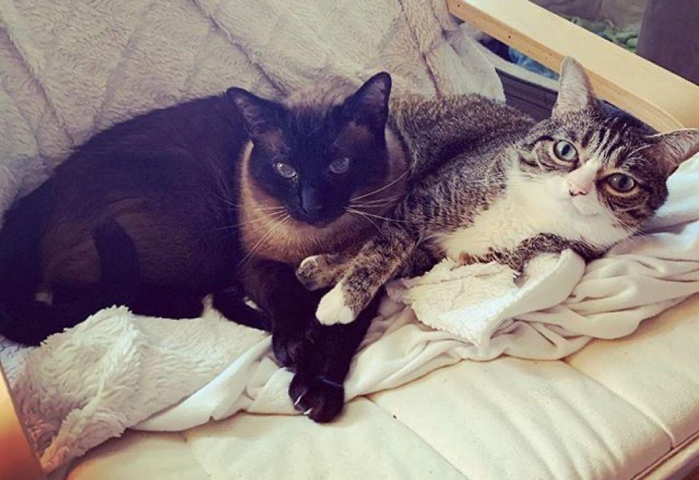best friends, siamese cat, tabby kitten