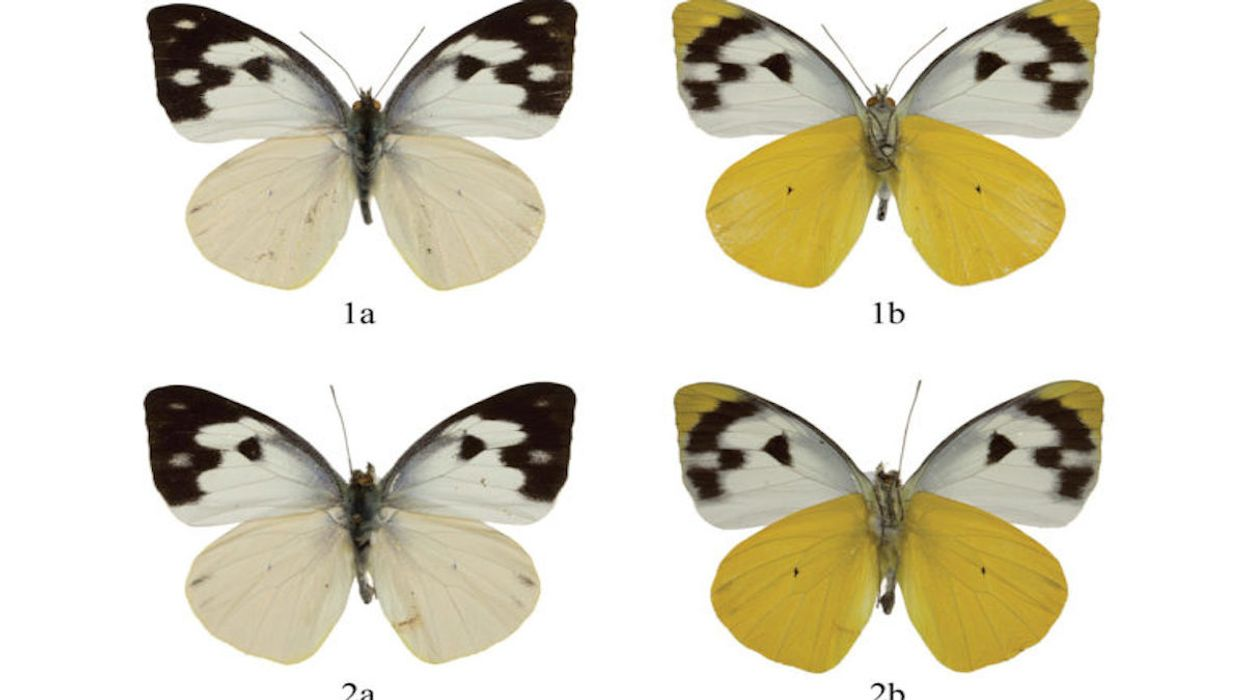 New Philippine Butterfly Subspecies Is Discovered Thanks to a Field Guide
