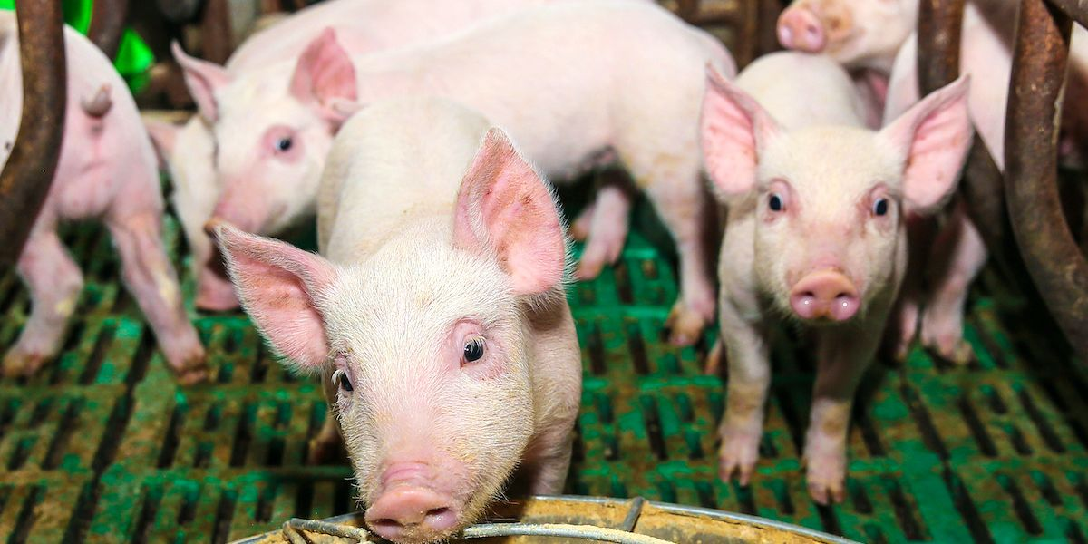 New Swine Flu in China Could Spread to...