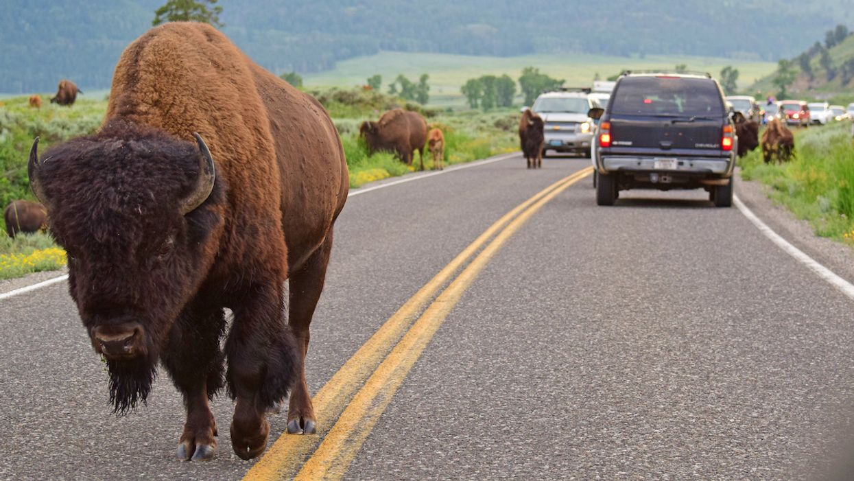 Woman Gored in Yellowstone After Standing Too Close to Bison