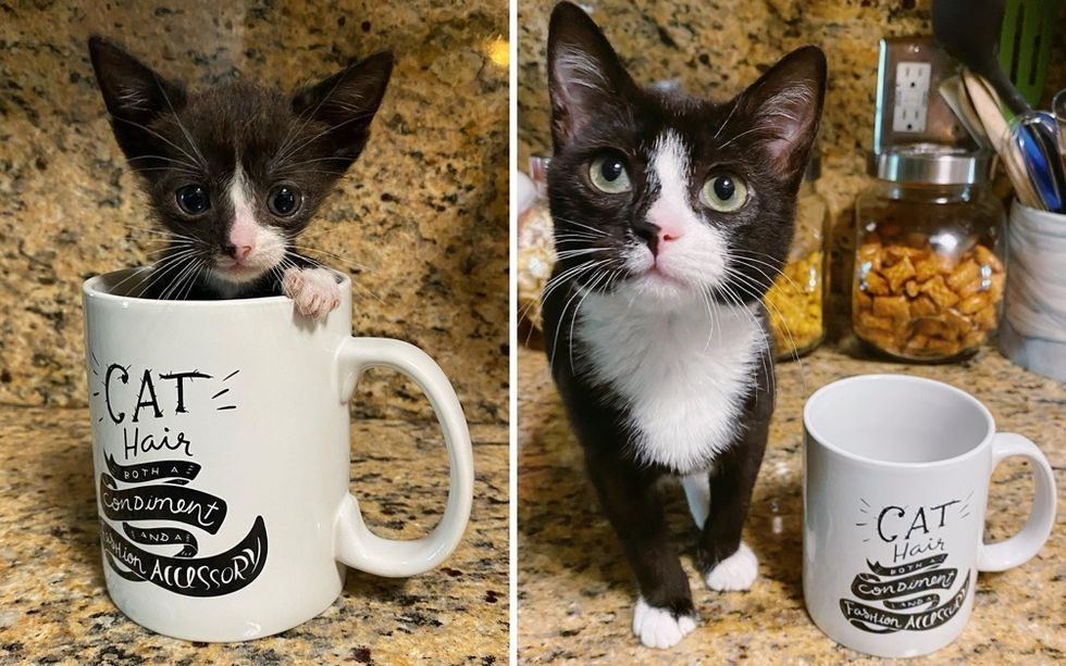 tuxedo kitten, then and now, cute cat