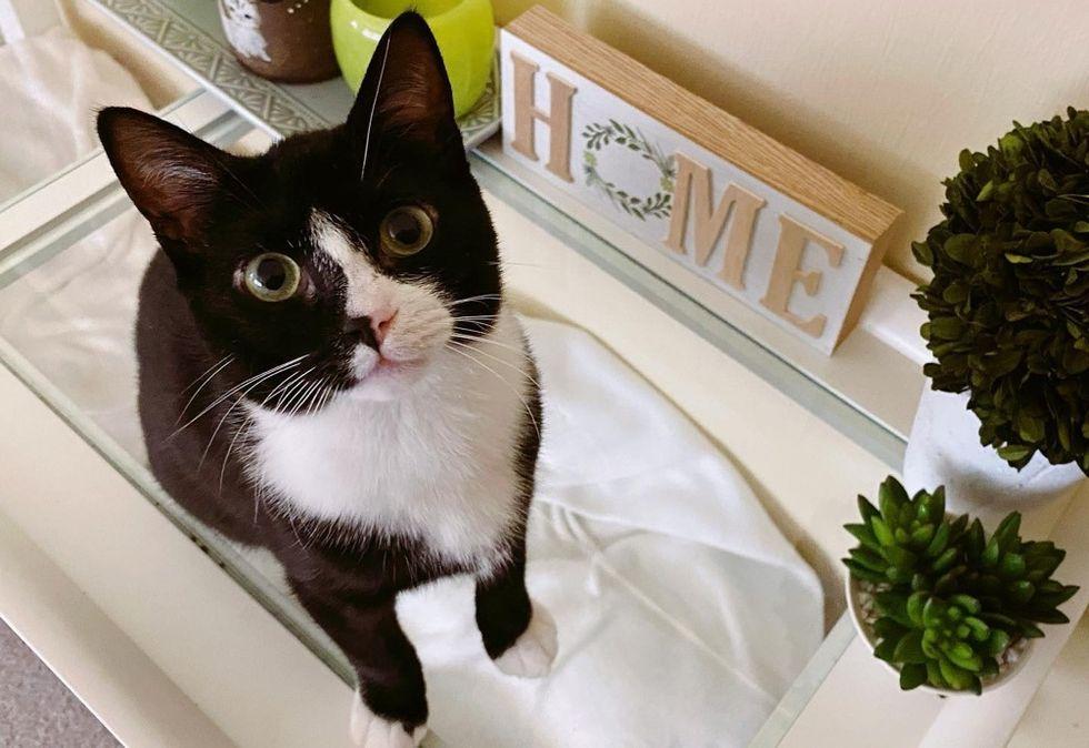 tuxedo cat, home, cute