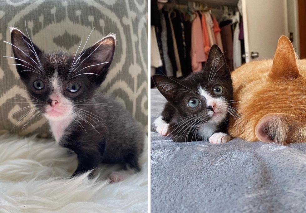 tuxedo kitten, cute, big ears