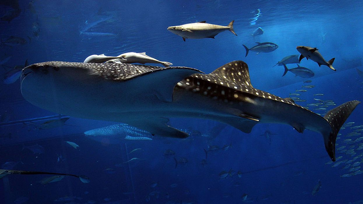 Giant whale sharks have teeth on their eyeballs