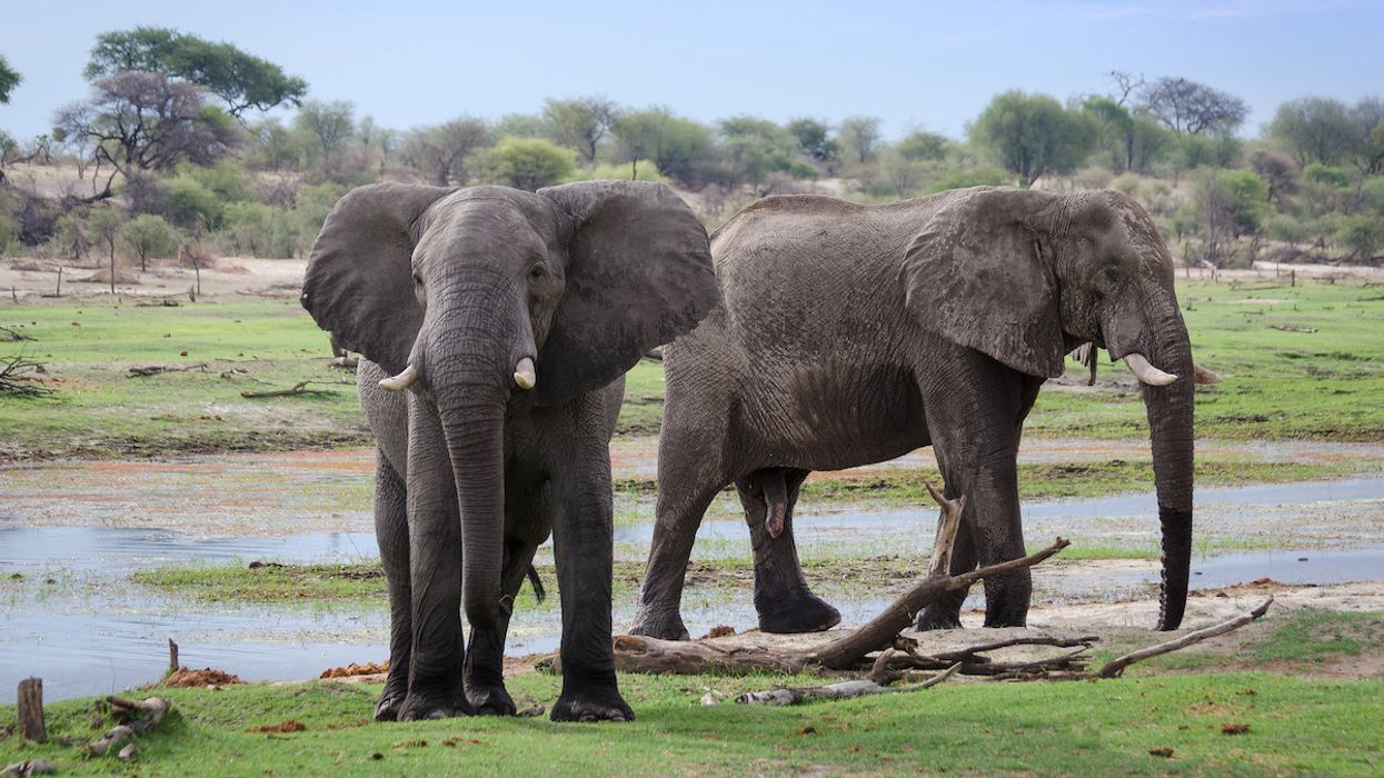In 'Conservation Disaster,' Hundreds of Botswana's Elephants Are Dying From Mysterious Cause