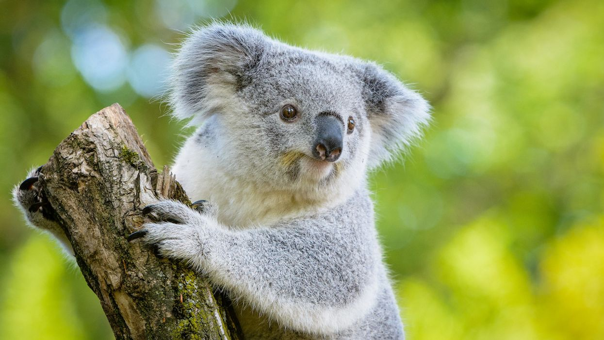 Koalas Face Extinction in Next 30 Years Without Urgent Intervention, Report Warns