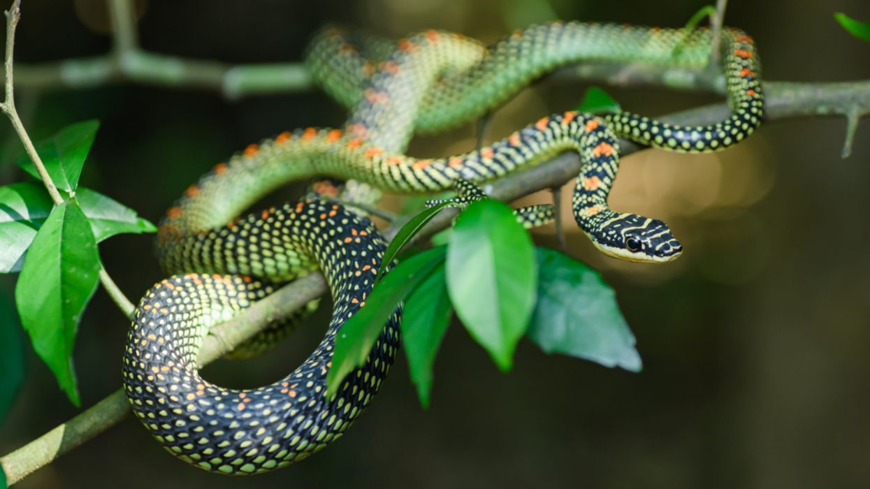 New Study Uncovers Why These Snakes Wiggle When They Fly