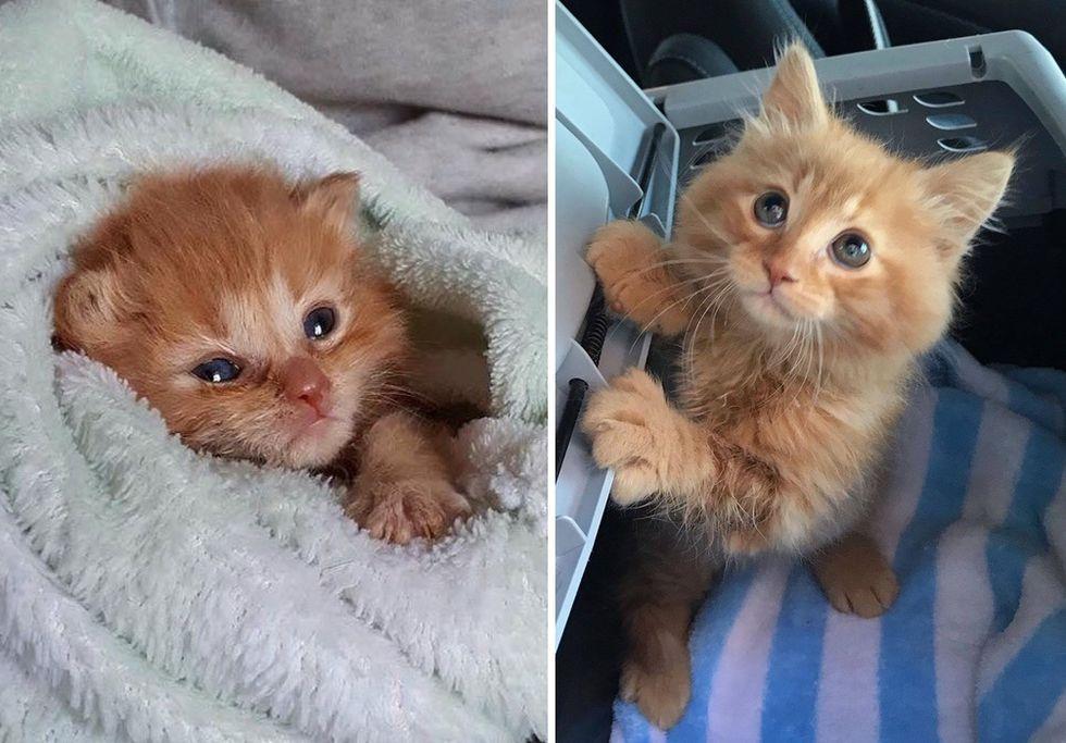 kitten, ginger, purrito