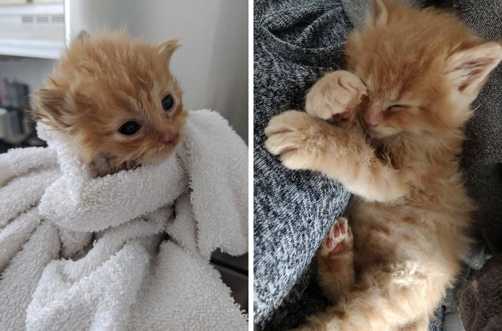 tiny kitten, ginger, purrito