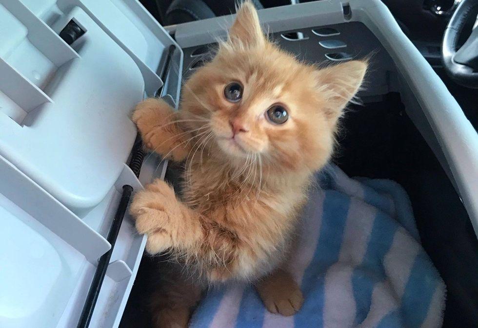ginger kitten, cute, big eyes