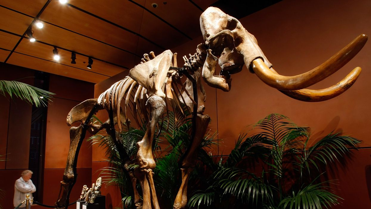 DNA revealed the fate of the woolly mammoth.