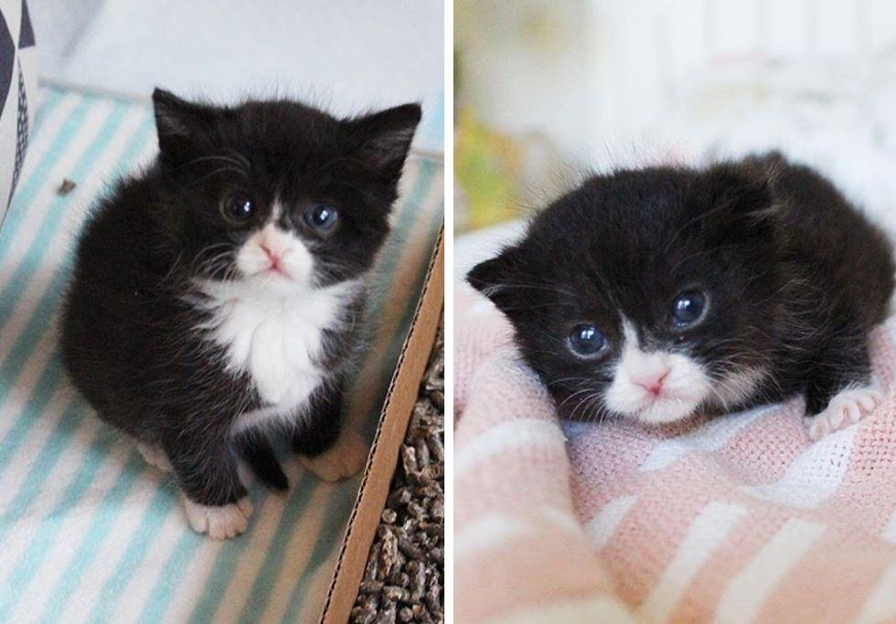 tuxedo, kitten, cute