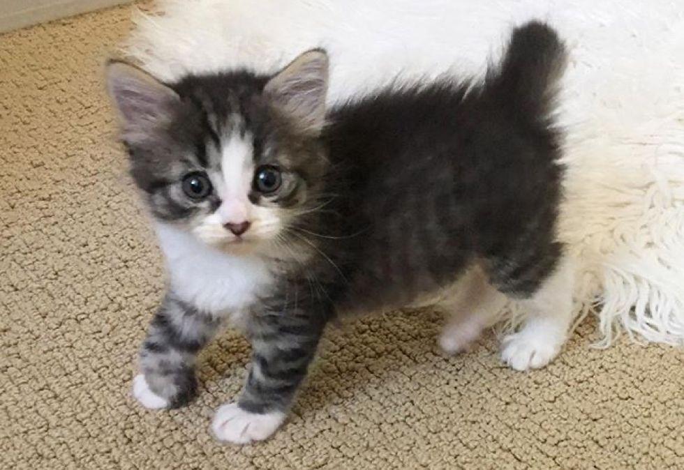 tabby kitten, foster